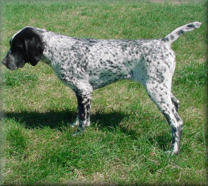 german shorthair pointer pheasant hunting dogs for sale fully hunting dogs 300x268